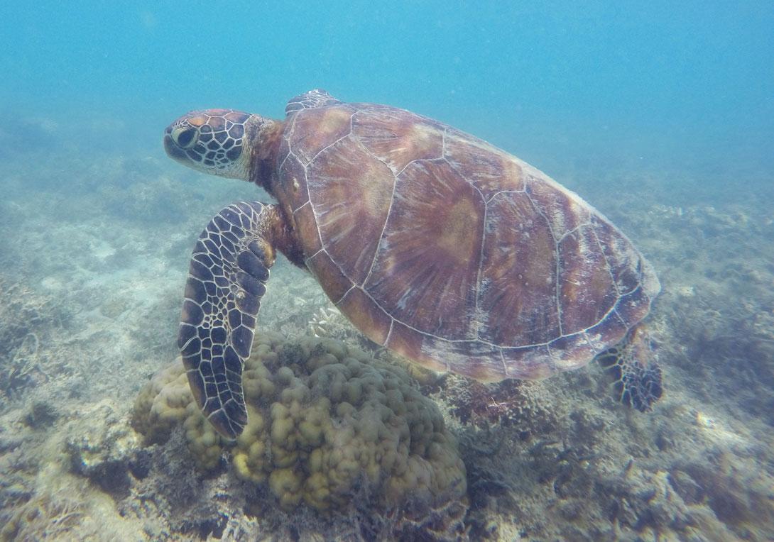 Fitzroy Island Tortue Snorkeling