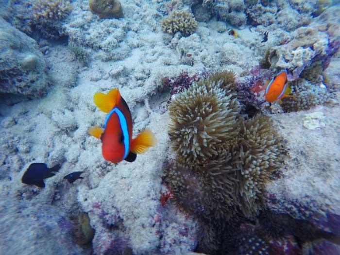 Snorkeling avec des poissons clown