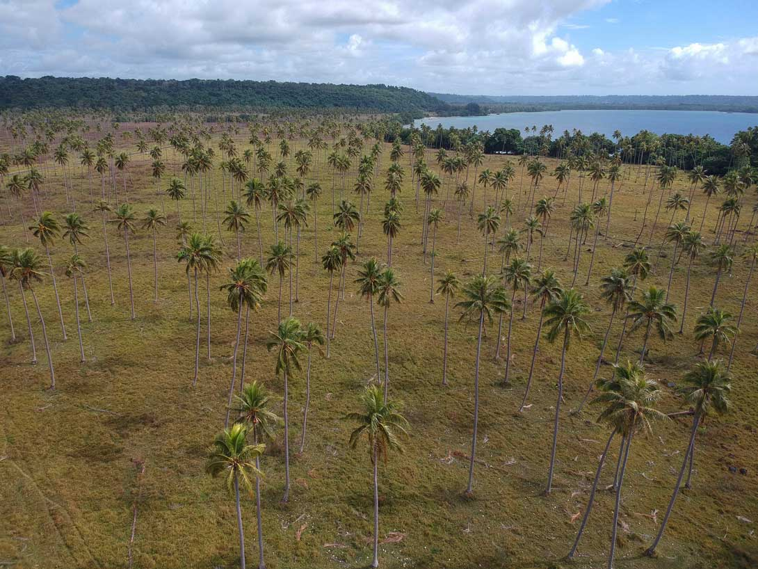 Champs de palmiers à Turtle Bay sur Espiritu Santo