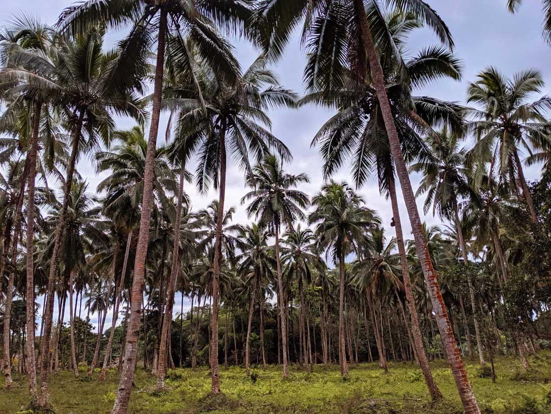 Forêt de cocotier au cours de la randonnée vers la Millenium Cave