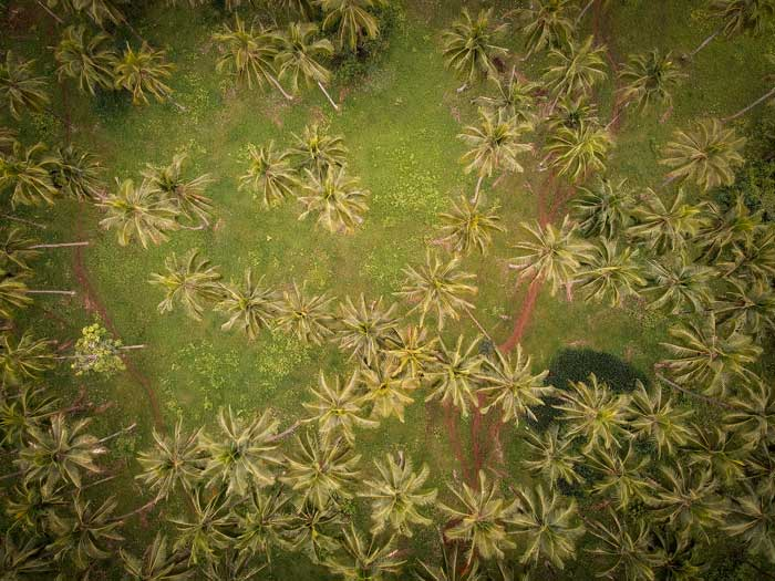 Forêt de cocotiers et palmiers vue du ciel
