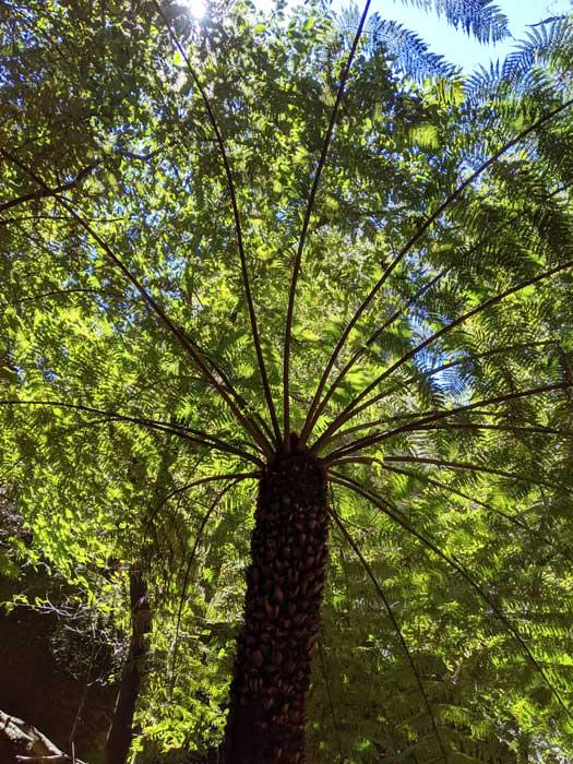 Fougère arborescente sur le bord du chemin dabs les Blue Mountains
