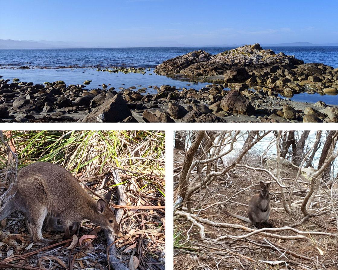 Wallabies au niveau de Grass Point sur la randonnée de Fluted Cape