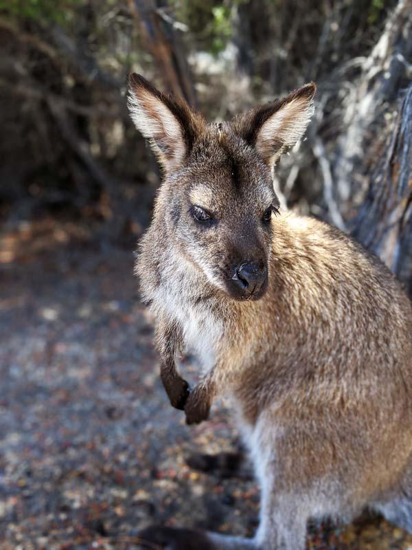 Wallaby au parking de Wineglass Bay