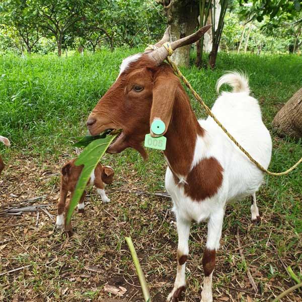 Chèvre dans la Freshwater Plantation
