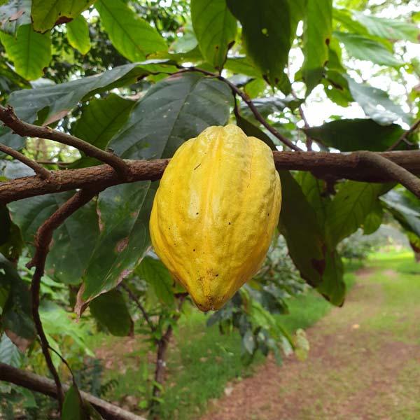 Fruit du cacaoyer