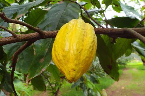 Fève de cacao de la Freshwater Plantation sur Aore Island
