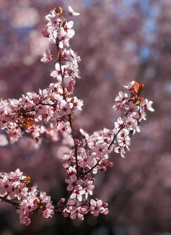 Floraison des arbres à Orange