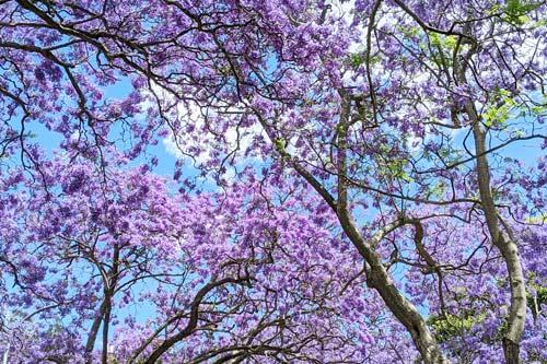 Un jacaranda tree en fleur à Sydney