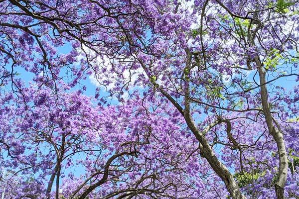 Les fleurs bleues-violettes des jacarandas en fleurs à Kirribilli