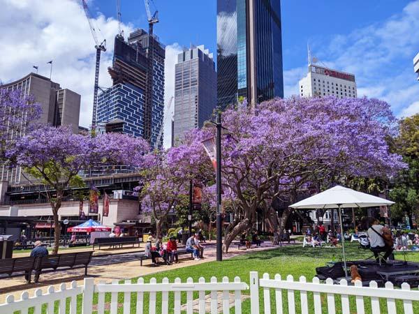 Les arbres jacarandas de The Rocks à Sydney