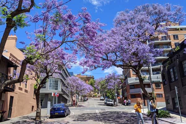 Riley street et ses Jacarandas en fleurs en plein cœur de Sydney