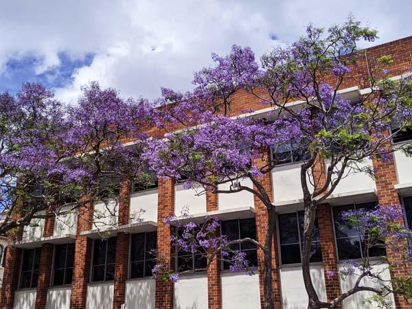 Plusieurs jacaranda trees à Kirribilli au nord de Sydney