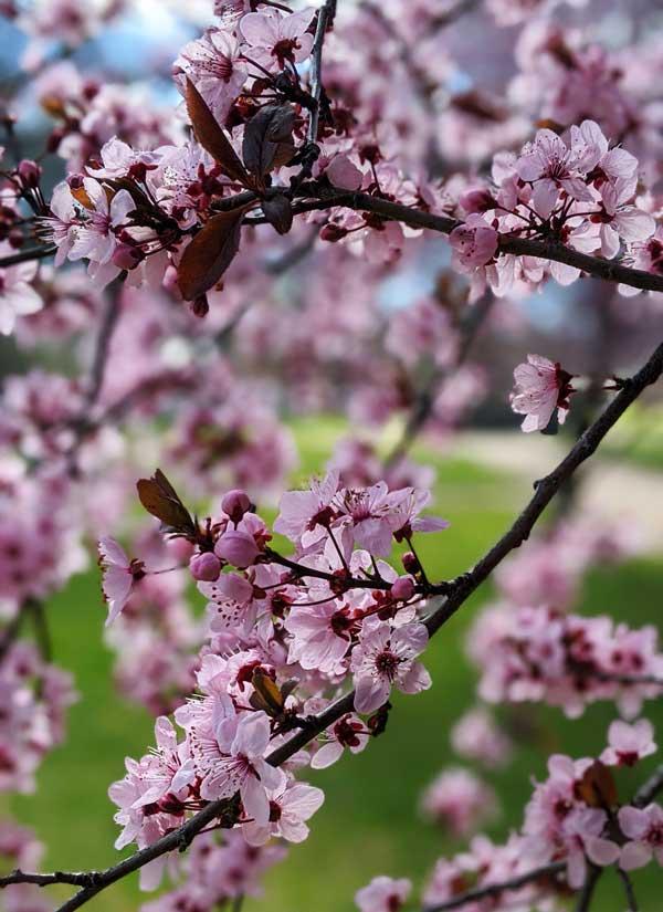 Fleurs roses d'arbres dans le Robertson Park dans la ville viticole d'Orange