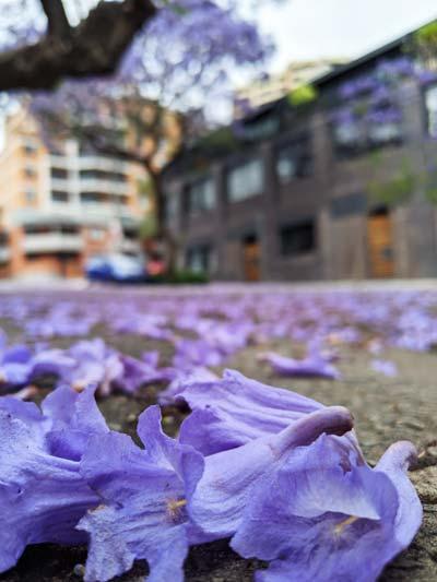 Les fleurs violettes des arbres Jacaranda à Sydney