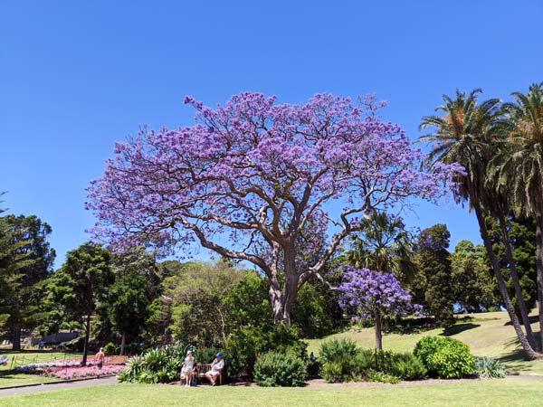 Jacaranda tree au milieu du Royal Botanic Garden de Sydney
