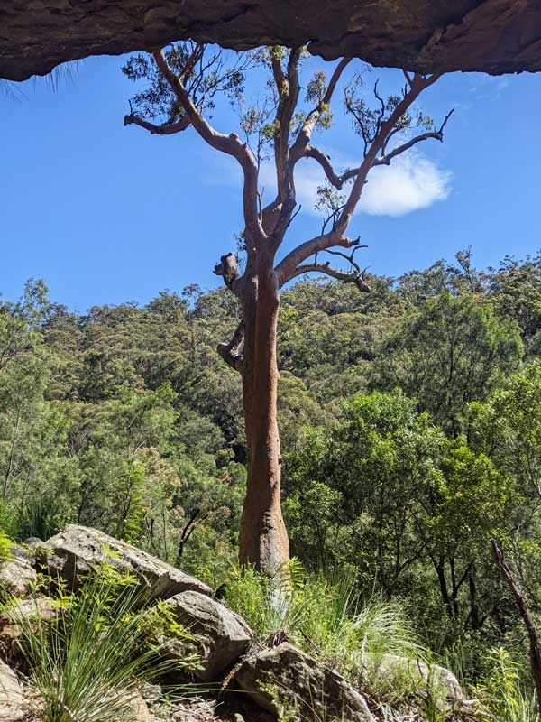 Eucalyptus géant dansle Berowra Valley National Park
