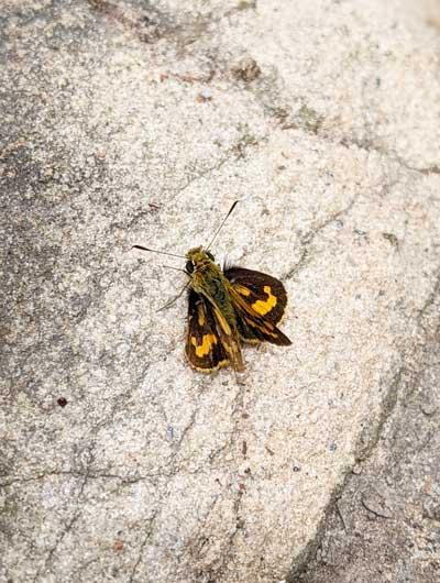 Petit papillon vu lors de la randonnée à Box Head lookout