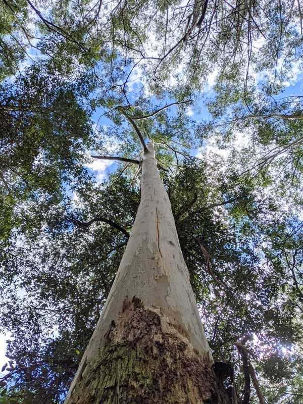 Eucalyptus géant sur le Couranga track dans le Royal National Park