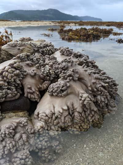 Anémones sur des rochers à marée basse