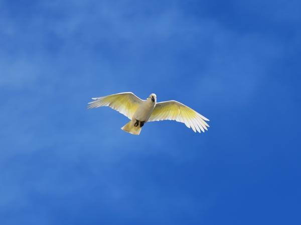 Cockatoo en plein vol
