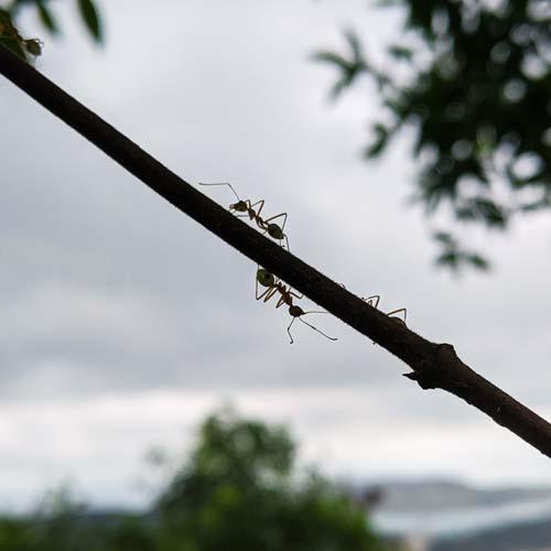 Fourmis grimpant sur une branche à contre jour