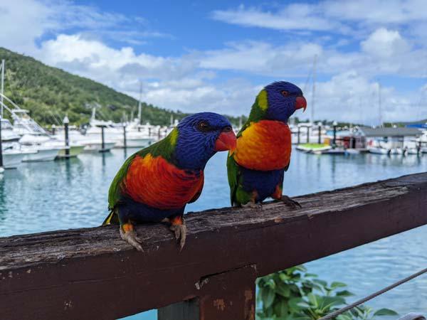 Deux lorikeets sur une rambarde de la marina