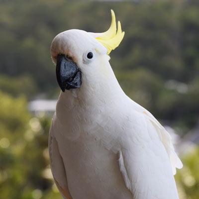Cockatoo sur notre balcon à Hamilton Island
