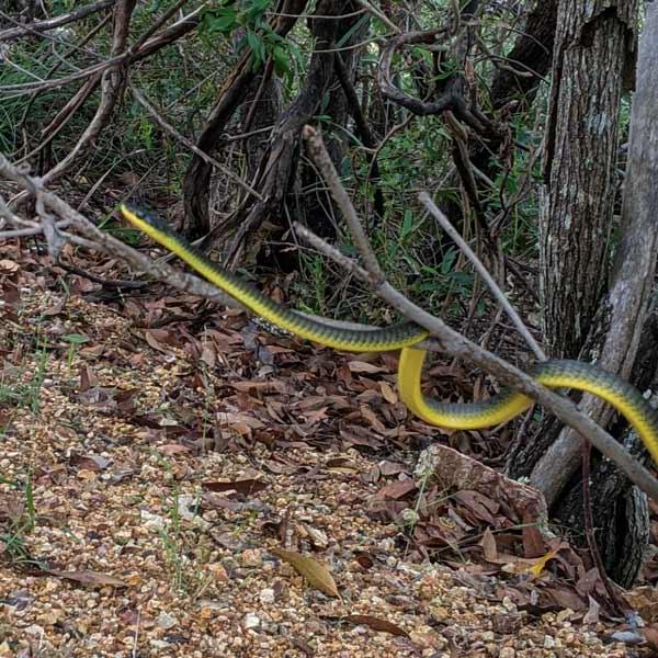 Serpent montant dans un arbre sur le chemin de randonnée