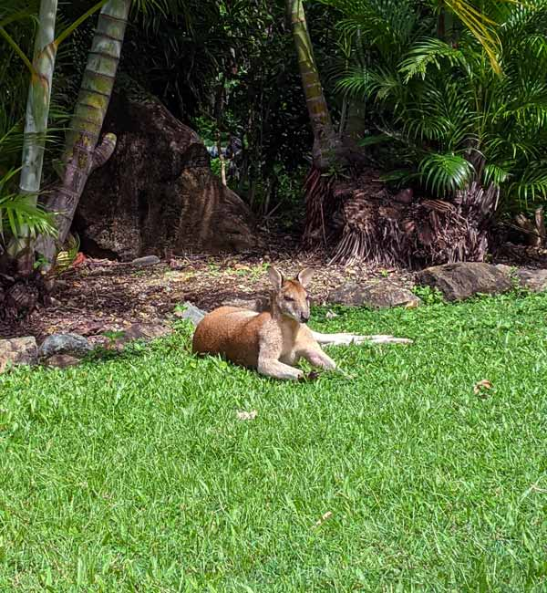 Wallaby chilling sur l'herbe en face del'hôtel